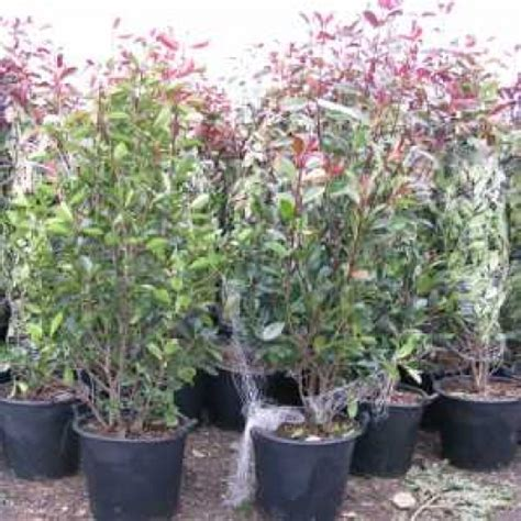 cheap photinia robin hedging buy evergreen hedging plants hedging uk