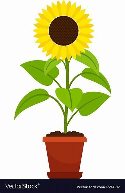 Pot Sunflower Flower Plant Vector Royalty Vectorstock