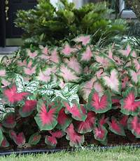 shade perennials zone 7 6 Tips for Growing Caladiums in Zones 5-7 - Longfield Gardens
