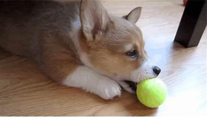 Corgis Corgi Adorable Brighten Watching Buzzfeed Puppies