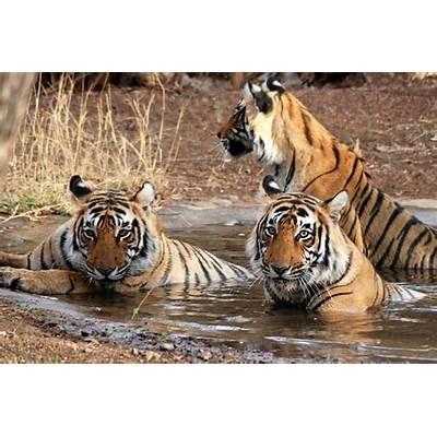 File:Tigers-at-Ranthambore-National-Park 03.jpg