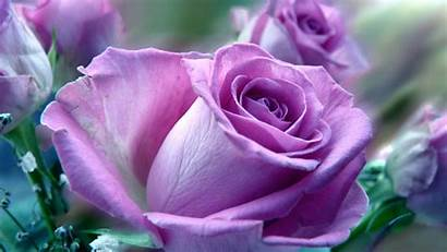 Rose Pc Computer Flowers Roses Wallpapers Purple