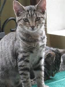 american shorthair cat american shorthair cat picture 5617 pet gallery