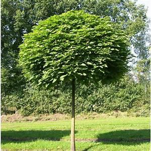 Petit Arbre Persistant : arbres d 39 ornement les nouvelles p pini re du gatinais ~ Melissatoandfro.com Idées de Décoration