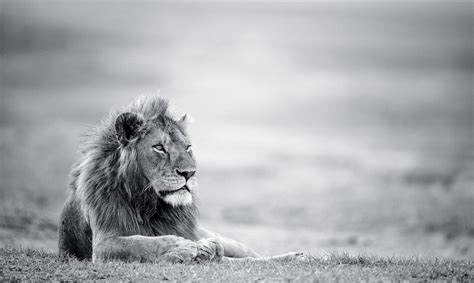 lion wallpapers backgrounds images freecreatives