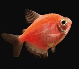 GloFish Tetra for Sale - Glow Fish Tetra for Sale ...