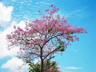 Blossom Cherry Tree Wallpapers Desktop