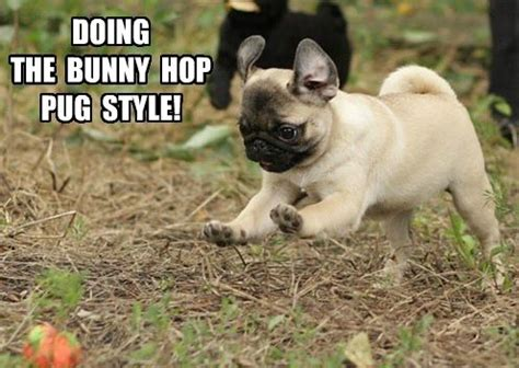 Depressed Pug Meme - 125 best dogs memes images on pinterest funny animals funny dogs and funny animal pics