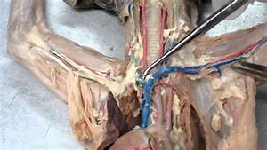 Lab  5 Vascular System Of A Cat