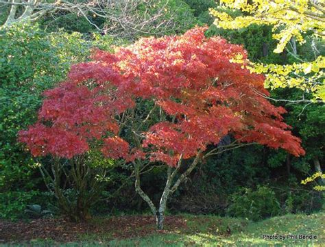 small japanese maple small japanese elegans maple google search maples pinterest search google and acer palmatum