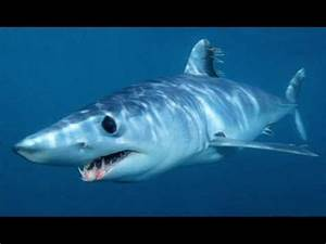 fight to the death mako shark vs. sand tiger shark.wmv ...