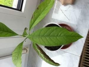 Avocado Baum Pflege : avocado baum bekommt braune bl tter was ist los pflanzenkrankheiten sch dlinge green24 ~ Orissabook.com Haus und Dekorationen