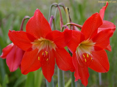 liles flower flowers wallpapers red lilies flowers wallpapers