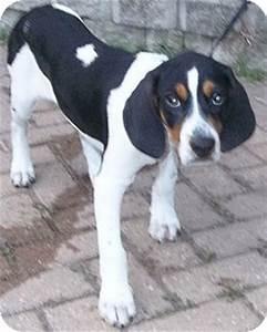 Walker Coonhound Beagle Mix