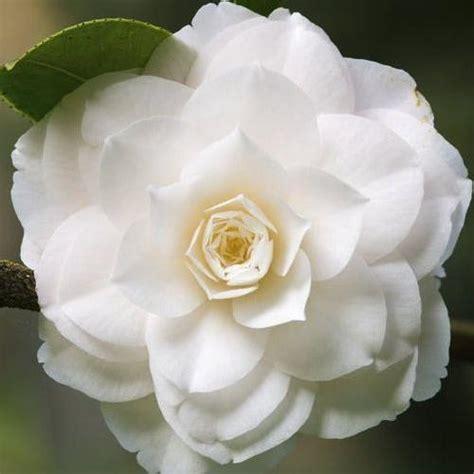 fleur blanche liste ooreka
