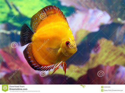discus aquarium fish stock image image  cichlids