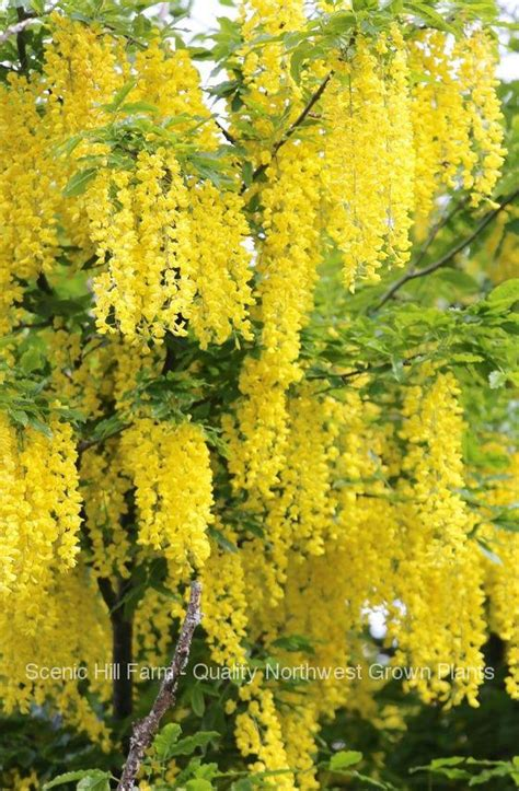 golden chain tree laburnum anagyroides  potted tree