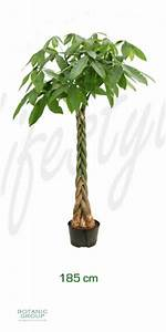 Zimmerpflanze Große Blätter : pachira aquatica gl ckskastanie zimmerpflanze ~ Lizthompson.info Haus und Dekorationen