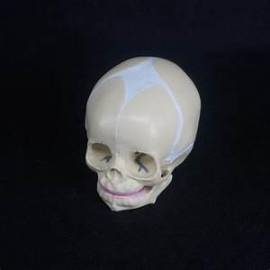 Human Fetal Baby Infant Medical Anatomical Skull Model For