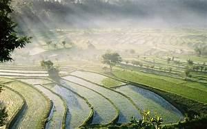 Bali Rice Fields wallpapers | Bali Rice Fields stock photos