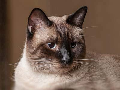 hypoallergenic cat breeds list