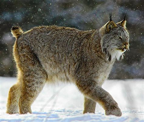 lynx environment  natural resources