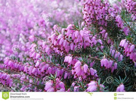 erica fiore fiori dell erica immagine stock immagine di brughiera