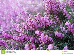 Welche Blumen Blühen Im August : fiori dell 39 erica immagine stock immagine di brughiera 15906095 ~ Orissabook.com Haus und Dekorationen