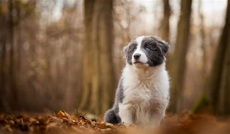 border collie puppy woods leaves hd dog wallpaper