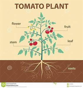 Tomato Plant Stock Vector  Illustration Of Leaves  Label