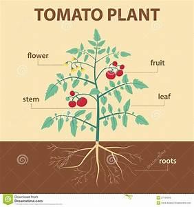 Tomato Plant Stock Vector