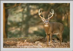 Big Buck Pictures Whitetail Deer
