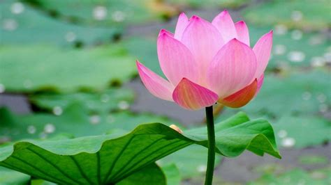 Lovely Lotus | A Frog's Dream