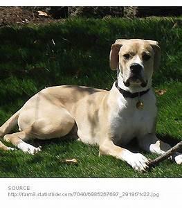 American Bulldog Great Dane Mix | www.pixshark.com ...