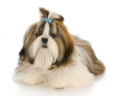 Tiny Non Shedding Dog Breeds by Dog Names