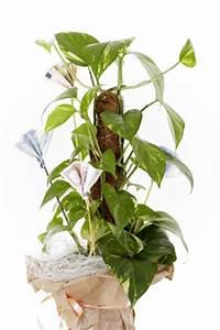 Pflanzen Wenig Licht : zimmerpflanzen f r dunkle r ume k hle standorte ~ Markanthonyermac.com Haus und Dekorationen