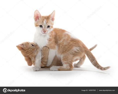 cute kittens playing stock photo  eeitony