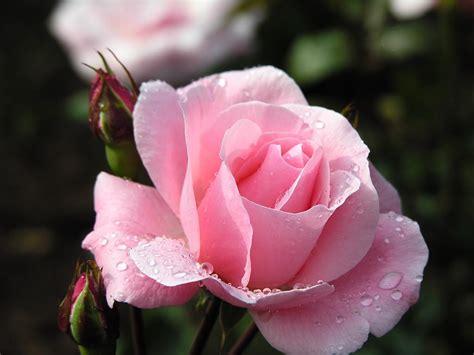 vintage canvas floral rose backgrounds  powerpoint