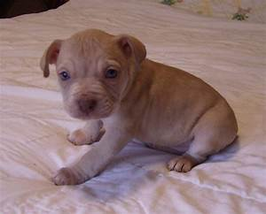 Red Nose Pitbull Puppies | Red Nose Pit Bull Puppies for ...