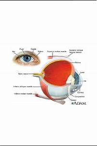 Cognitive Neuropsychology Continued The Eye The Visual