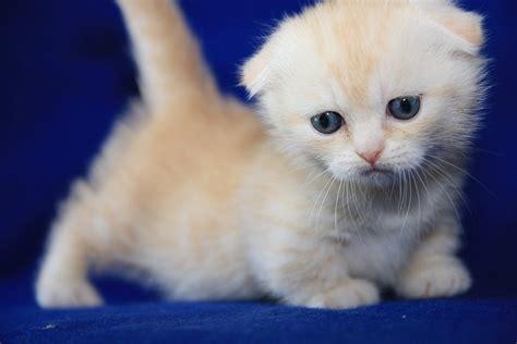 munchkin cat scottish fold bonniebluu scottish fold munchkins aka scottish kilts and