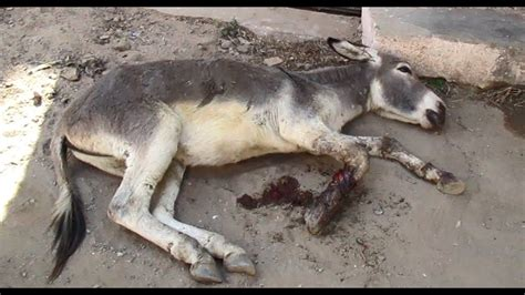 Rope Abused Donkey Almost Severed His Foot Watch