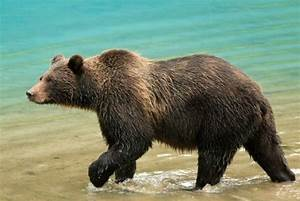 Grizzly Bear Attack! Tips for Hiking Safely in Bear ...