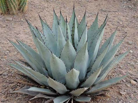 succulents agave agave parryi subsp neomexicana new mexico agave world of succulents