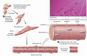 Formation Of A Multinucleate Skeletal Muscle Fiber