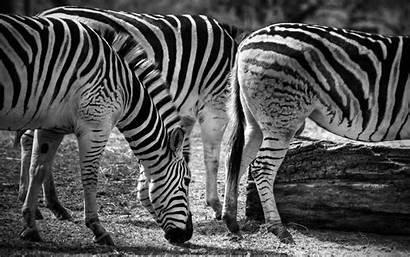 Zebra Wallpapers Widescreen 2560 1600 Hdwallpaper Nu