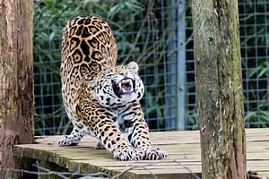 Jaguar Cat Wallpaper