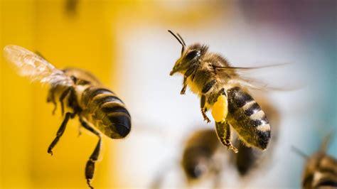 Von Bienen Attackiert Stiche Verraten Diebe In Israel