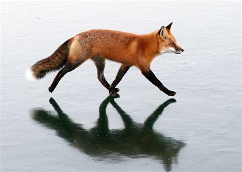 The 25+ Best Red Fox Ideas On Pinterest