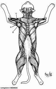 6 Best Images Of Muscle Diagram Dorsal